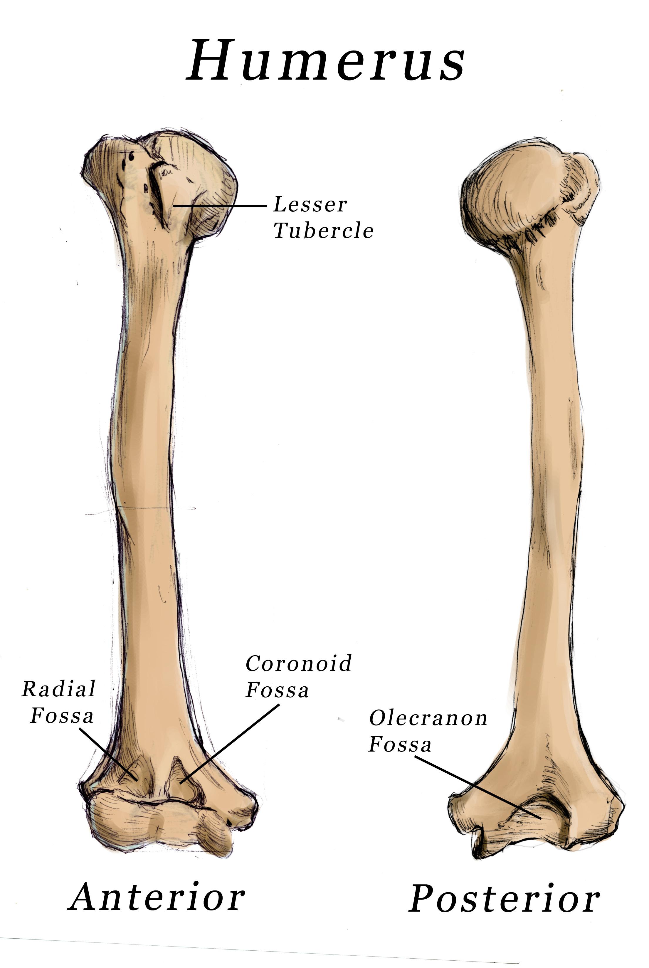 Coronoid Fossa Of Humerus